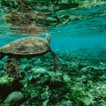 Sea Turtle - Mayan Princess Hotel, Belize